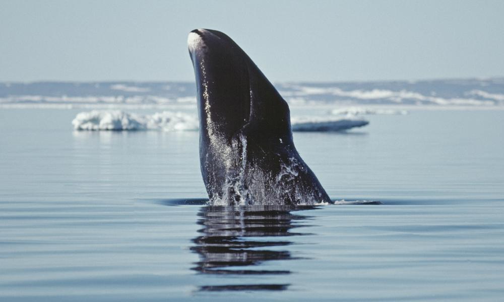 北极融化的冰与弓头鲸联系在一起,阻止了每年的迁徙